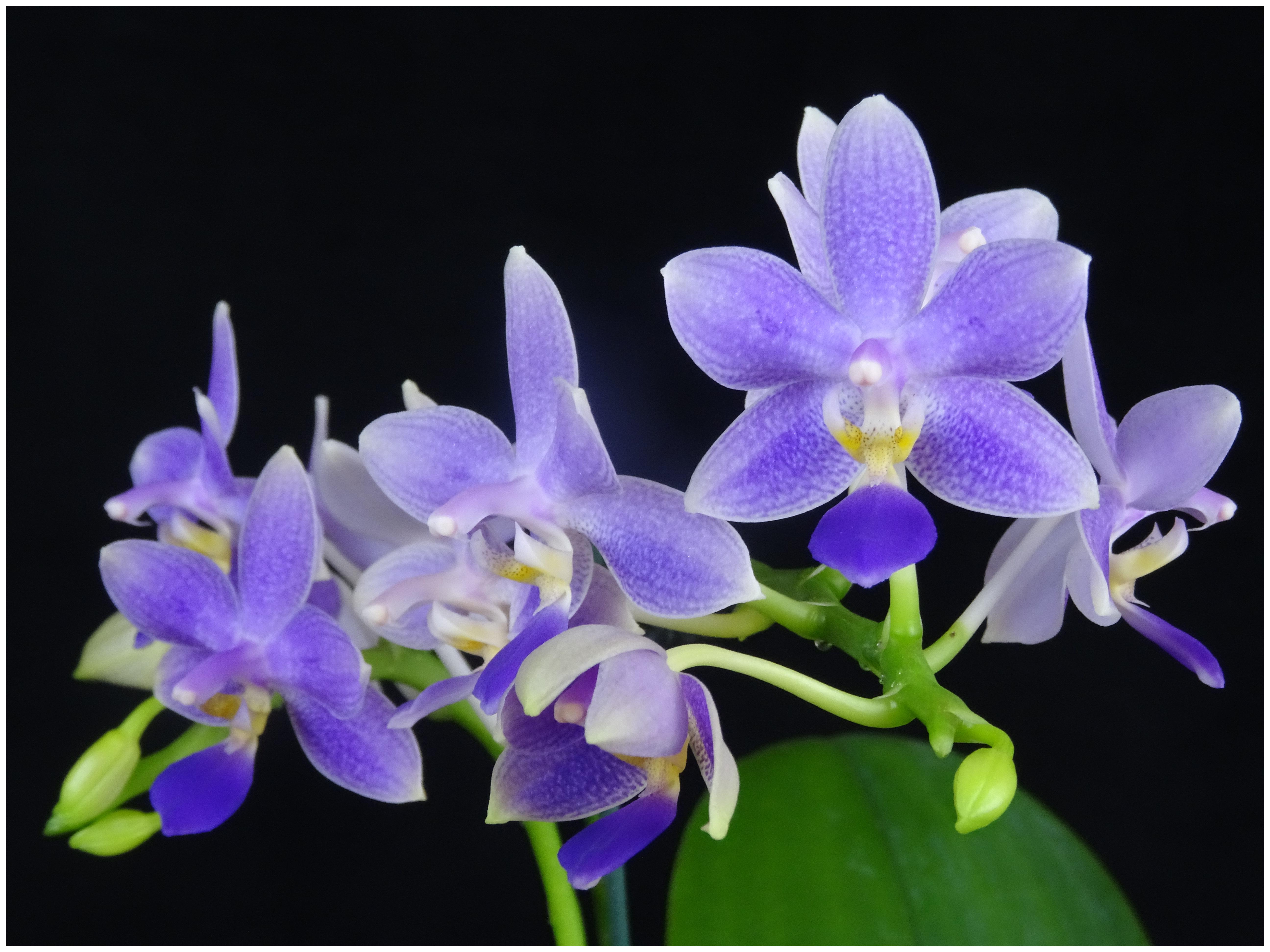 Phalaenopsis Jiaho Blueberry
